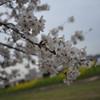 Sakura by the Inugawa.<br /> In Nagaokakyo, Kyoto-fu, Japan.