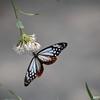 Feeding Butterfly 1