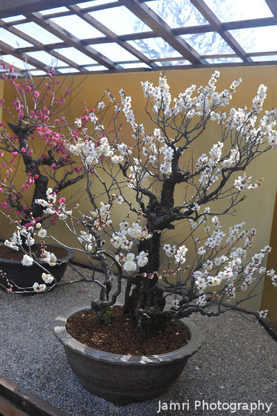 Bonsai Ume.<br /> On display in the grounds of Osaka Castle.