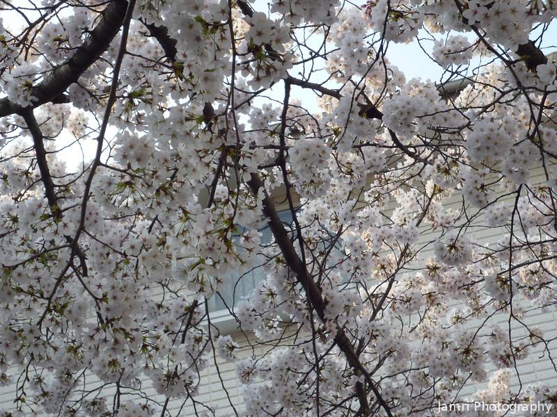 The Peak of the Sakura at Megumi Kindergarten.<br /> Photo by Ritsuko.
