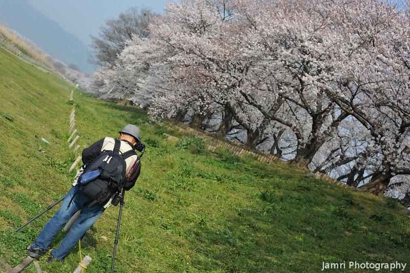 Lining up a shot.<br /> Of the Sakuras at Yawata.