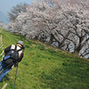 Lining up a shot.<br /> Of the Sakuras at Yawata.