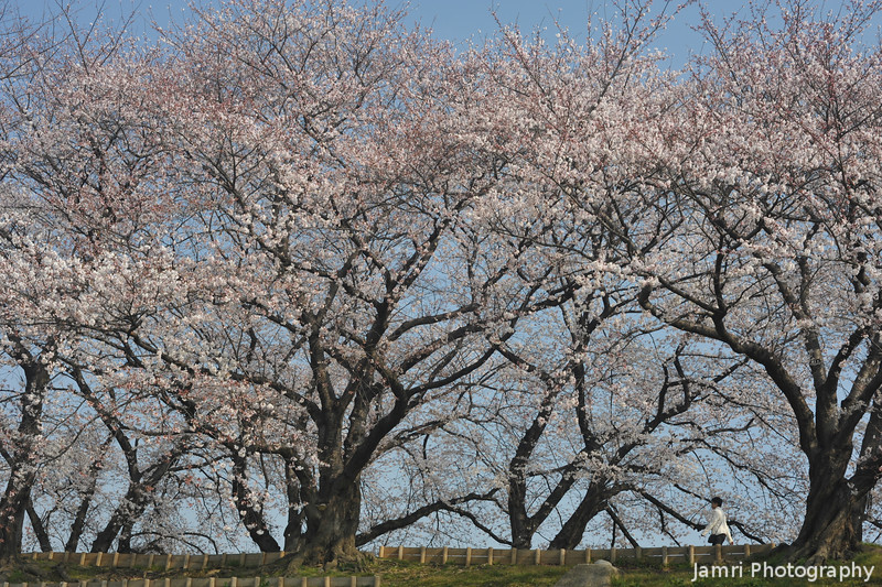 Walking amongst the Sakuras.<br /> Gives you an idea of the size of the trees at Yawata.