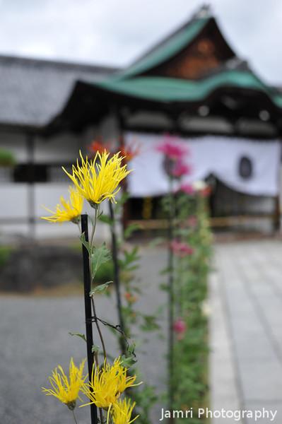 Yellow Saga Chrysanthemums