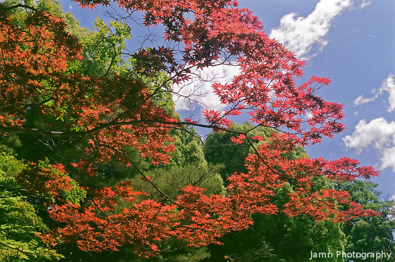 Ever Red Maple