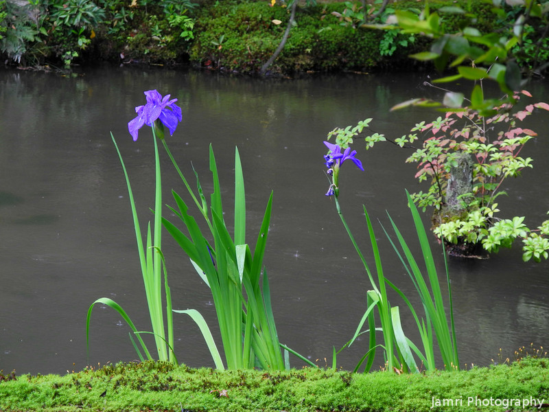 A view of some Irises.