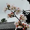 Sakura Blooms at Houryu-ji.<br /> Ikaruga-cho, Ikoma-gun, Nara-ken, Japan.