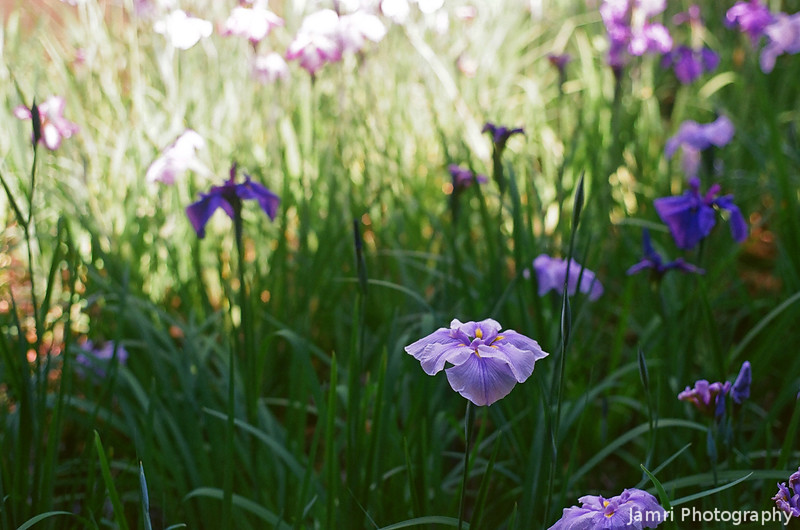 Irises in the Shade