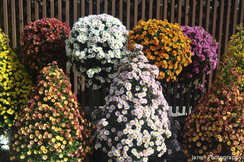 Sculptured Chrysanthemums