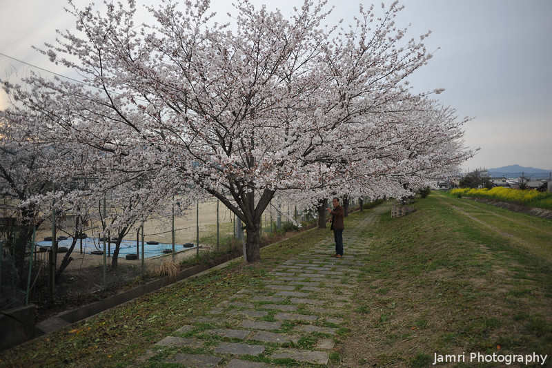 """Early Bloom.<br /> The Sakura bloomed about a week early this year. These are the ones along the Inugawa and next to Nagaoka 3rd Junior High School (aka """"Sanchu"""")."""