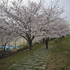 "Early Bloom.<br /> The Sakura bloomed about a week early this year. These are the ones along the Inugawa and next to Nagaoka 3rd Junior High School (aka ""Sanchu"")."