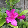 Our Azalea Blooms.<br /> It doesn't bloom every year, but this year we got two flowers. We did get five a few years ago. It's in a place that doesn't get much light (planted there by a previous occupant), we also have to remember to fertilize it early in the year.
