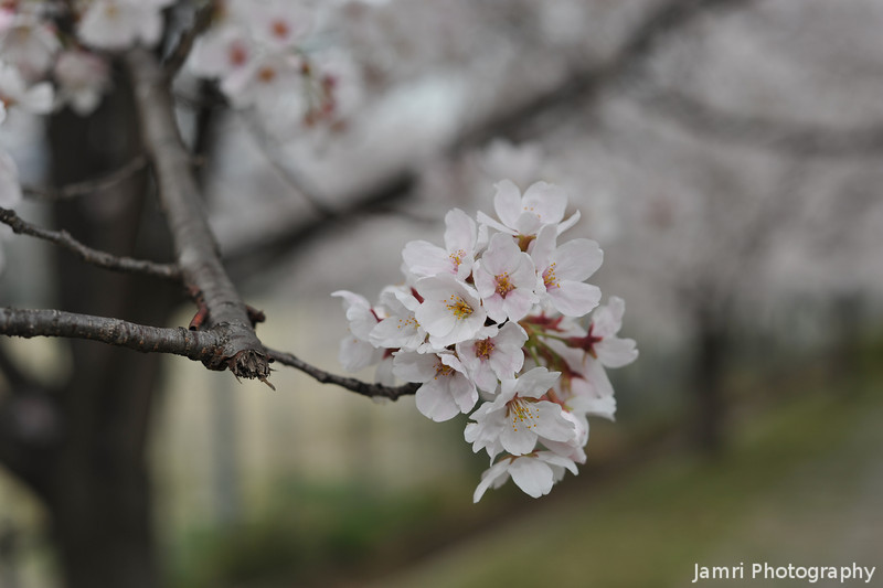 A Small Custer of Sakura.