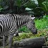 Zebra.<br /> At the Singapore Zoo.