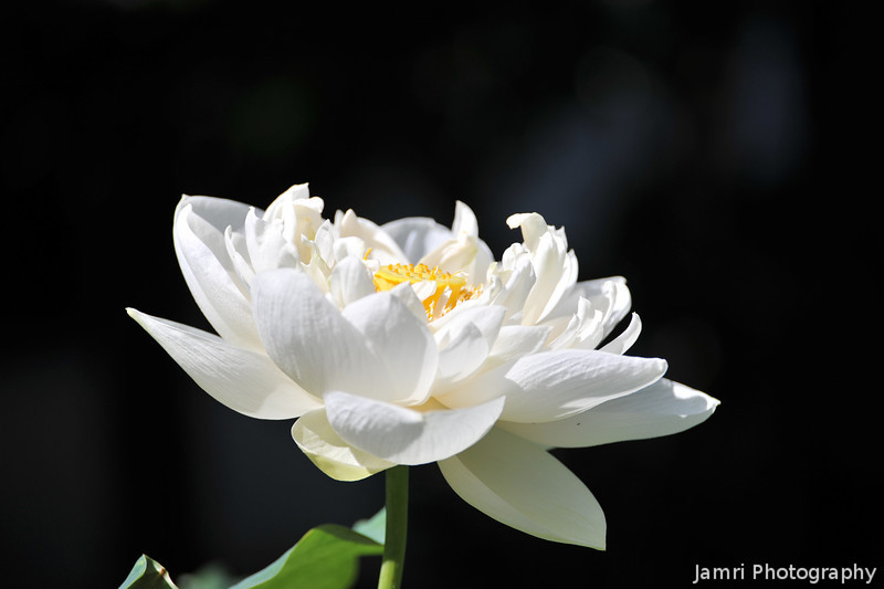 White Lotus.<br /> At Houkongou-in Temple, Hanazono, Kyoto.