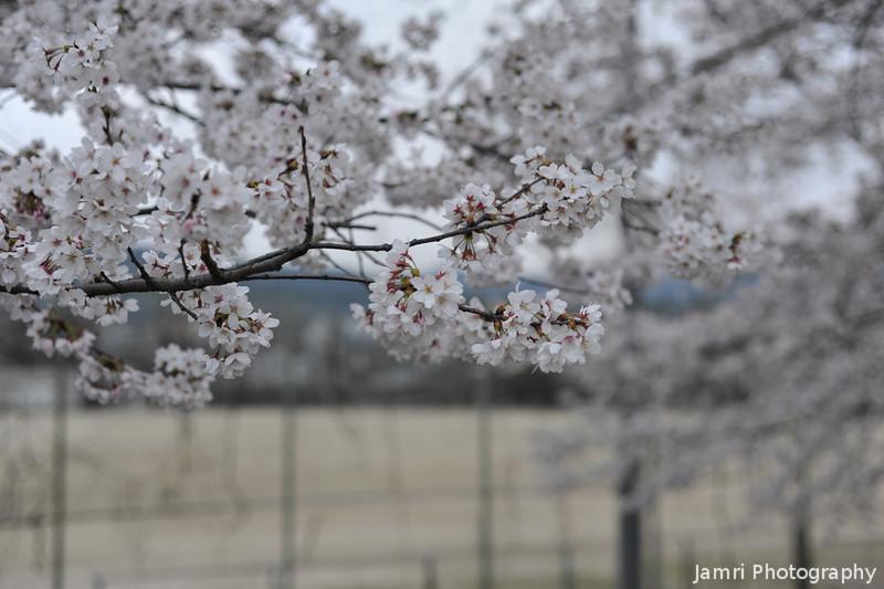 "Sakura in Front of the Playing Field.<br /> Of Nagaoka 3rd Junior High School (aka ""San Chu"")."