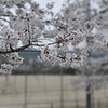 "Sakura in Front of the Playing Field.<br /> Of Nagaoka 3rd Junior High School (aka ""San Chu"")."