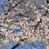 Sakura on a Sunny Day.
