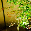 A Little Japanese Maple Tree