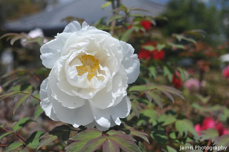 White Peony.<br /> At Otokuni Temple in Nagaokakyo, Kyoto-fu, Japan.