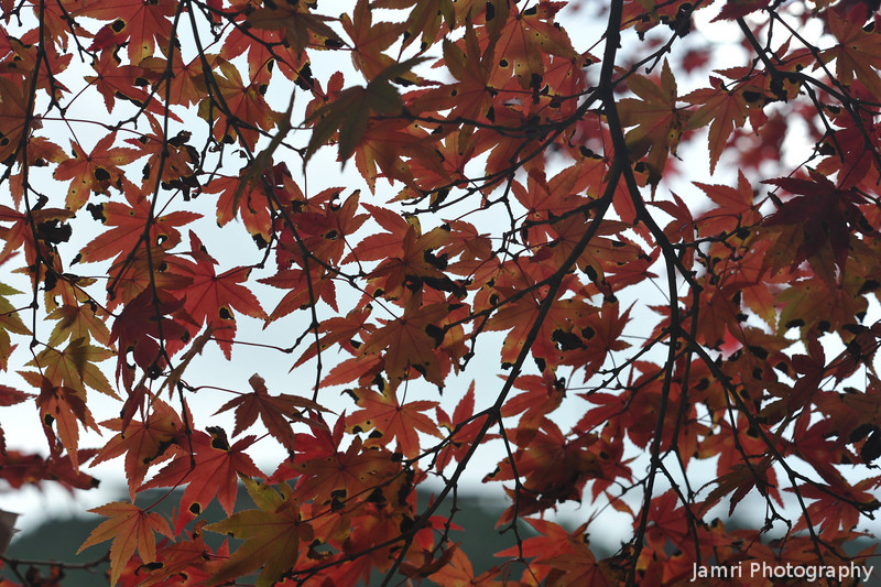 Through the Maple Leaves.<br /> On Mt. Hiei.