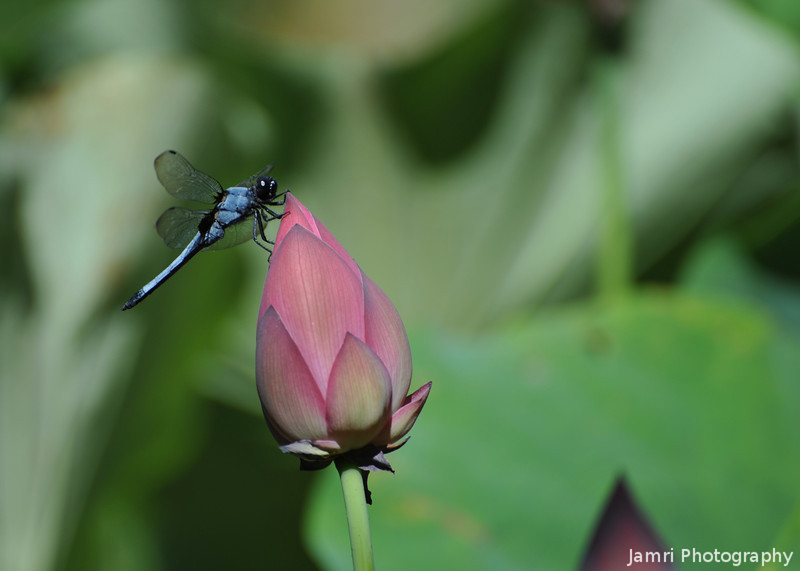 Blue Dragonfly on a Lotus Bud.<br /> At Houkongou-in Temple, Hanazono, Kyoto.
