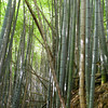 Part of the Bamboo Forest.