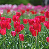 Red Tulips.<br /> At the Kyoto Botanical Garden.