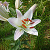 A White Lily. <br /> While I was in Perth, Ritsuko went to a Lily Festival on a mountain in Shiga Prefecture. This is one of her photos.