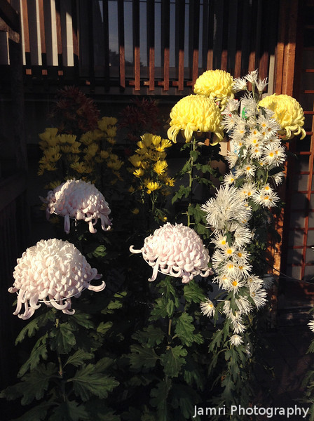 """Jellyfish"" Chrysanthemums"