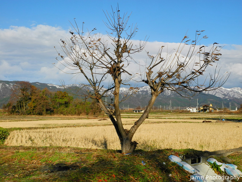 An Empty Tree by a Field.<br /> In Omi Imazu, Shiga Prefecture.