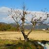 An Empty Tree by a Field.<br /> In Omi Imazu, Shiga Prefecture.