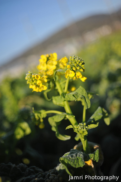 "Up close to the Nanohana.<br /> Nanohana (called ""rape"" in English) are popular crop to grow in early spring in Japan. As well as good for vegetable oil (aka rapeseed oil) they are also good eating as green vegetables with a taste similar to broccoli."