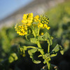 """Up close to the Nanohana.<br /> Nanohana (called """"rape"""" in English) are popular crop to grow in early spring in Japan. As well as good for vegetable oil (aka rapeseed oil) they are also good eating as green vegetables with a taste similar to broccoli."""