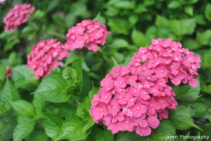 Hot Pink Hydrangeas