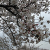 A Bit More Bloom at the Northern End.<br /> Of Nagaoka Tenmangu in Nagaokakyo, Kyoto-fu.