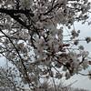 A Bit More Bloom at the Northern End.<br /> Of Nagaoka Tenmangu in Nagaokakyo, Kyoto-fu.