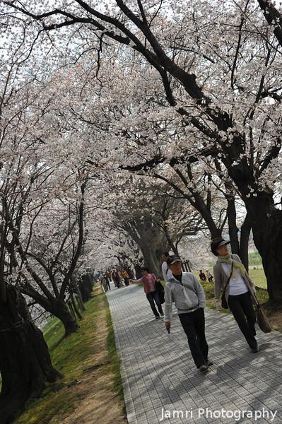 A Stroll through the Sakura Corridor.