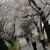 A Stroll through the Sakura Corridor.