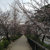 A Quick Look at Nagaoaka Tenmangu.<br /> The Sakuras weren't quite in full bloom there, even though they were already in full bloom in other places around Nagaokakyo.