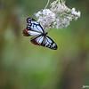 Feeding Butterfly 4