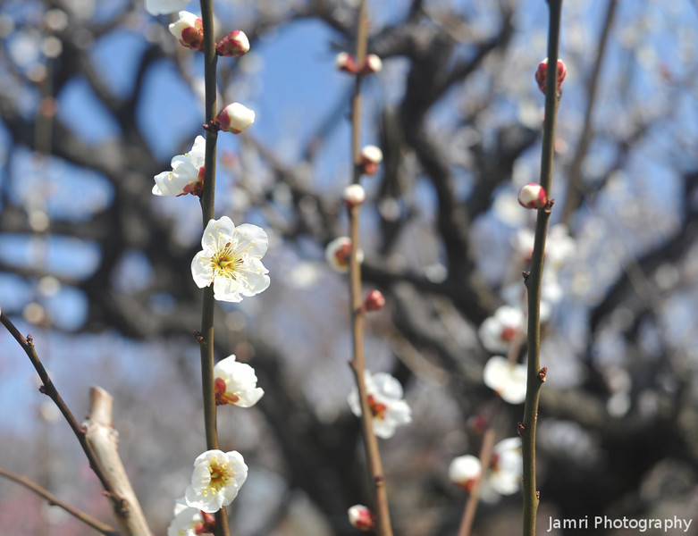 Catching some Sun.<br /> A White Ume (Plum Blossom) in the grounds of Osaka Castle.