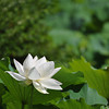 White against Green.<br /> At Houkongou-in Temple, Hanazono, Kyoto.