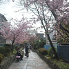 On a Sunday Afternoon in Fushimi-ku Yodo Shin-Machi.<br /> With the Kawazu Zakura in full bloom.