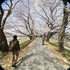 Walking the Sakura Tunnel.<br /> In Yawata city, Kyoto-fu, Japan.<br /> This photo was taken with a crop lens (the Sigma 10-20 f4-5.6 EX DC HSM) on my D700 (full frame camera) as you can see the photo almost fills the frame, certainly more than just the 1.5 crop zone, however the edges are very soft. I do like the effect sometimes though, and it's certainly wider than my widest full frame lens with is a 24mm.