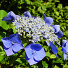 """A Blue """"Framed"""" Hydrangea.<br /> In Japanese these kind of Hydrangeas are called がくあじさい(gaku ajisai, gaku = framed as in a picture frame, ajisai = hydrangea).<br /> This concludes the photos from my visit to Mimuroto-ji on June 26th."""