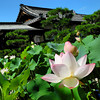 The Lotuses at Houkongou-in.<br /> There are many kinds of Lotuses to see in the gardens of Houkongou-in (Hokongon-in) Temple in Hanazono, Kyoto. These bloom from late July to early August. The temple is nearby Hanazono station which is only a few stops from Kyoto on the JR Sagano line (aka Sanin main line).