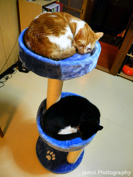 Lucy and Linus on their new cat tree.<br /> The old cat tree was getting pretty worn, so our friends brought us to Musashi Home Centre where we got a new one for a good price. It was an early Christmas present for the cats, and they love it.