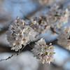 A few bunches of Sakura.