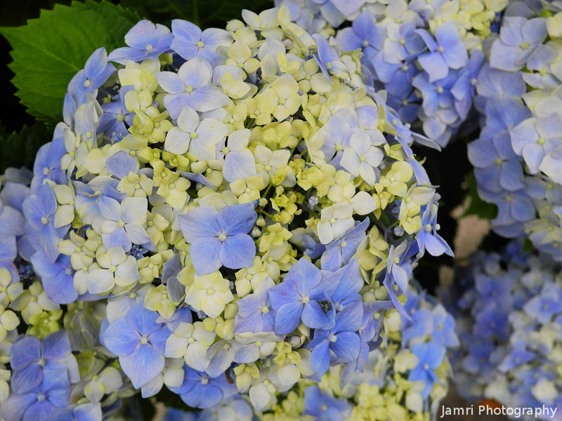 Blues and Whites.<br /> Some of the many colours of the Hydrangeas.